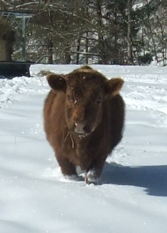 This snow was some seriously deep wading for Shortie!  It was time to move into the barn...for two weeks.