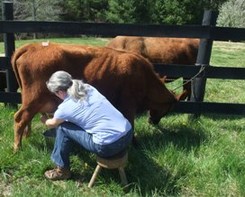 This photo of me milking Trixie took the first place ribbon in the Milking & Working Dexters category.